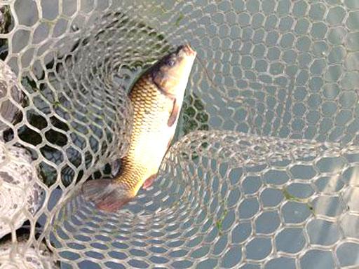 王禅寺の鯉