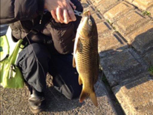 鶴見川の鯉