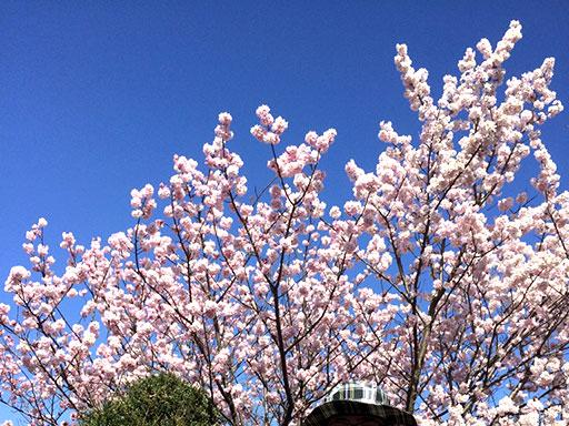 開成フォレストスプリングの桜