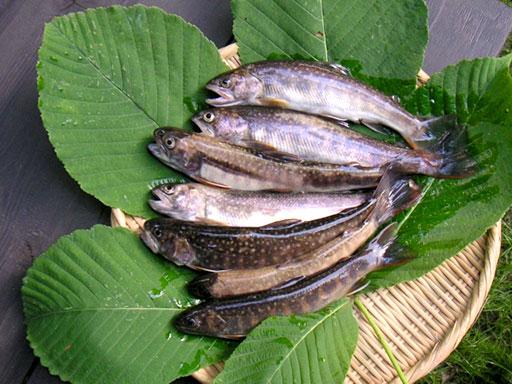 イワナ 岩魚